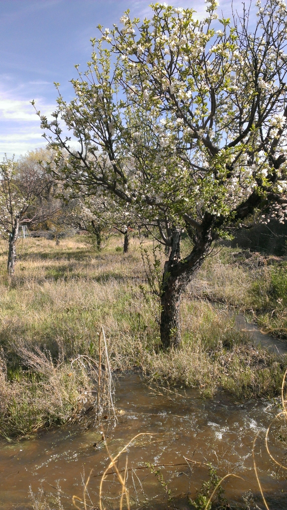 Irrigating the blossoming apple trees in the orchard.