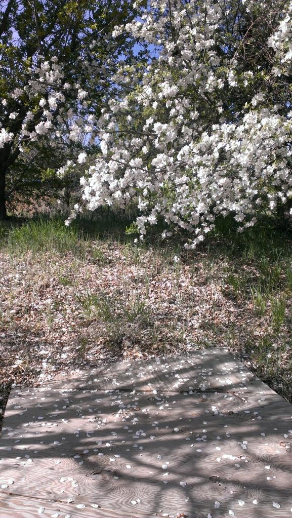 apple blossoms shadows