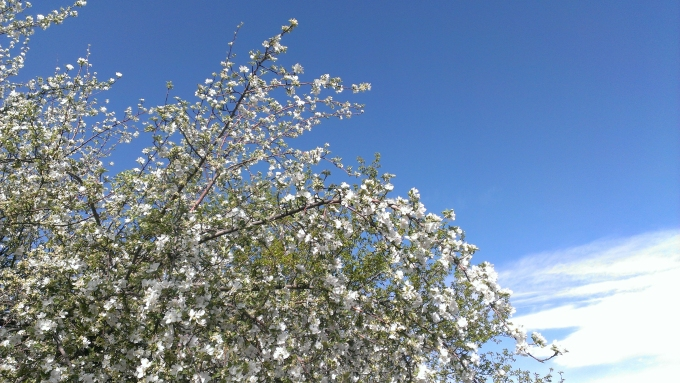 apple blossoms sky