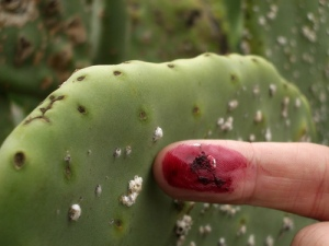 cochineal bug on cactus